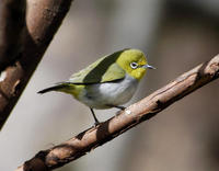 Image of: Zosterops japonicus (Japanese white-eye)