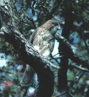 Hawaiian Hawk - Buteo solitarius