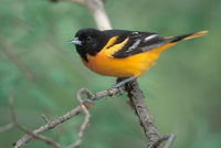 Baltimore Oriole (Icterus galbula) photo