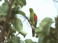 Red-winged Parrot - Aprosmictus erythropterus