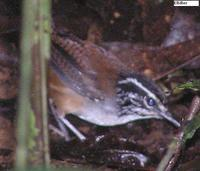 White-breasted Wood-Wren - Henicorhina leucosticta