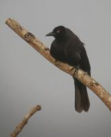 Giant Cowbird in Suriname