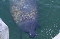 The West Indian Manatee is the gentlest of creatures. They are