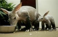 Aardvark Mom and Pup, orycteropus afer