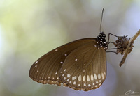 Euploea core asela   Common Crow photo