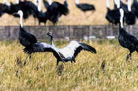 A Demoiselle Crane, with Hooded Cranes, in Kyushu