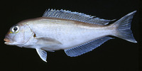 Caulolatilus chrysops, Atlantic goldeye tilefish: fisheries, gamefish, aquarium