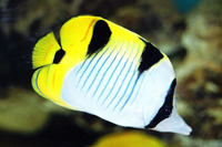 Chaetodon falcula, Blackwedged butterflyfish: aquarium