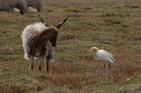 Image of: Bubulcus ibis (cattle egret)