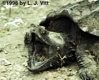 Image of: Macrochelys temminckii (alligator snapping turtle)