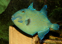 Pseudobalistes fuscus - Blue Or Rippled Triggerfish