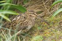 Subantarctic (New Zealand) Snipe (Coenocorypha aucklandica) photo