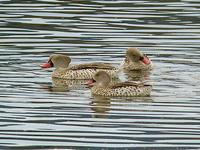 Cape Teal (Kapand) - Anas capensis