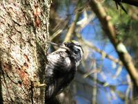 Three-toed Woodpecker (Picoides tridactylus tridactylus) - Adult male Sweden © Jan Larsson