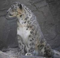 photo of a snow leopard sitting