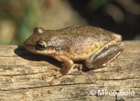 : Scinax nasicus; Lesser Snouted Treefrog