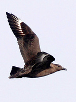 South Polar Skua. One of 23 birds counted this day, smashing the previous