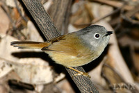 Grey-cheeked Fulvetta 白眶雀鶥