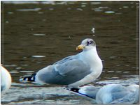 큰검은머리갈매기  Larus ichthyaetus ( Great Black-headed Gull  / Pallas's Gull )