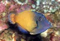 Pervagor janthinosoma, Blackbar filefish:
