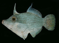 Pervagor nigrolineatus, Blacklined filefish: