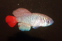 Nothobranchius patrizii, Blue notho: aquarium