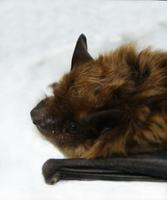 Image of: Eptesicus fuscus (big brown bat)