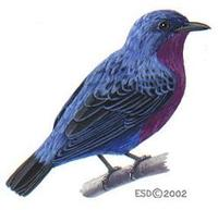 Image of: Cotinga cotinga (purple-breasted cotinga)