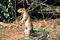 Xerus rutilus - Unstriped Ground Squirrel