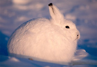 Photo: Arctic hare rests in the snow