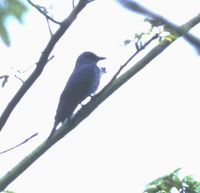 Bar-bellied Cuckooshrike - Coracina striata