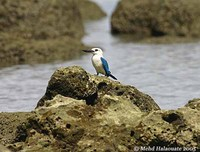 Beach Kingfisher - Todirhamphus saurophaga