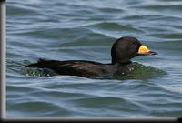 Black Scoter, Barnegat Light, NJ
