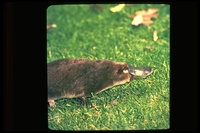: Ornithorhynchidae anatinus; Duck-billed Platypus