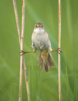 Japanese Marsh Warbler (Megalurus pryeri) photo
