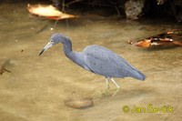 Photo of volavka modrošedá, Egretta caerulea, Little Blue Heron, Garza Azul