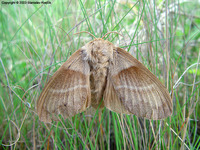 Macrothylacia rubi - Fox Moth