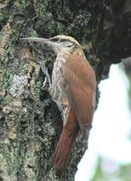 Image of: Lepidocolaptes angustirostris (narrow-billed woodcreeper)
