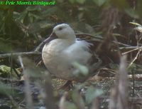 White-winged Duck - Cairina scutulata