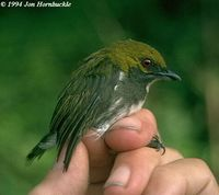 Olive-backed Flowerpecker - Prionochilus olivaceus