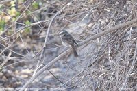 White-browed Chat-Tyrant - Ochthoeca leucophrys