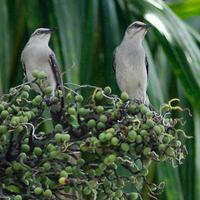 Tropical Mockingbirds (Mimus gilvus)