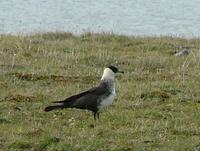 The     main consumers of the lemmings this year were the Pomarine skuas Stercorarius pomarinus