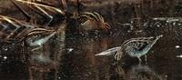 ...Plate 9: Jack Snipe Lymnocryptes minimus, left, Common Snipe Gallinago gallinago, centre, and Wi