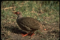 : Francolinus afer; Red Necked Spurfowl