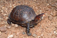 : Terrapene carolina triunguis; Three-toed Box Turtle