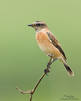 Siberian Stonechat Scientific name - Saxicola maura