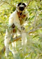 photograph of a white sifaka : Propithecus verreauxi