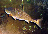 Sciaenops ocellatus, Red drum: fisheries, aquaculture, gamefish, aquarium