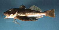 Prionotus evolans, Striped searobin: fisheries, gamefish, bait